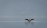 A cormorant paddles and dries its wings in the glassy waters of the morning May River.