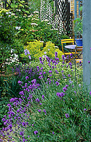 Lavender angustifolia and Alchemilla mollis (Lady's Mantle) flank the pathway to the sunken seating area outside the conservatory