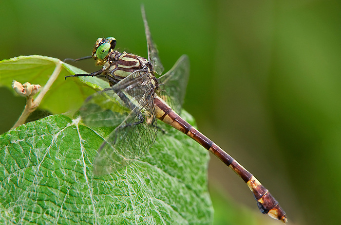 333930001 a wild male cobra clubtail gomphus vastus perches on a plant leaf in independce park along the guadelupe river near the town of gonzales in gonzales county texas