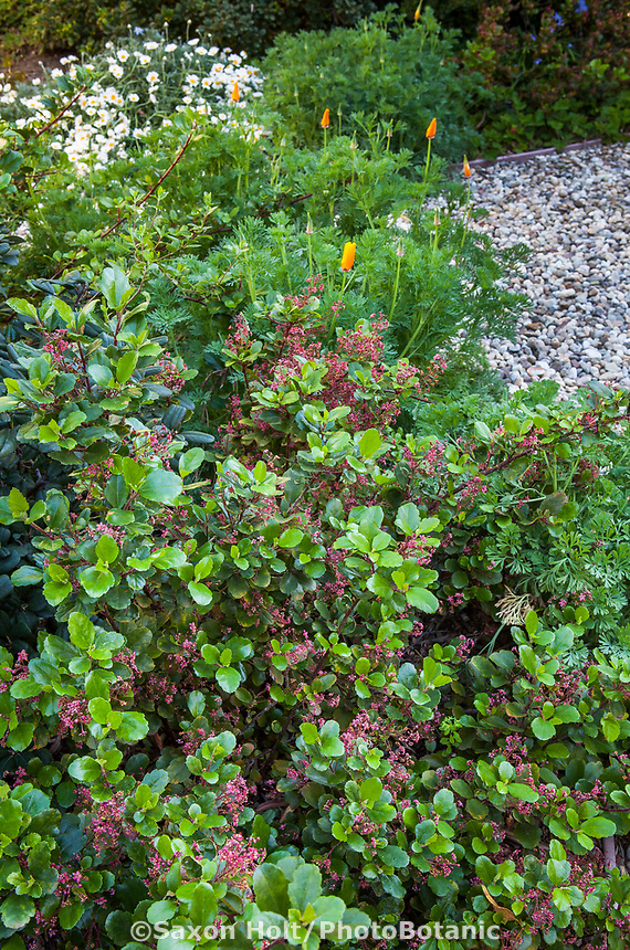 Catalina Perfume, evergreen currant, fragrant foliage - Ribes viburnifolium in Southern California native plant garden