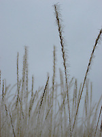 Frost on grasses, Methow Valley, Washington