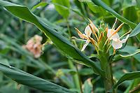 Hedychium x 'Goldflame'