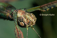 OR07-551z  Walking Stick Insect, close-up of head, mouth, and compound eye, Acrophylla wuelfingi