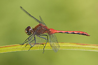 Cherry-faced Meadowhawk (Sympetrum internum) Dragonfly - Male, Ward Pound Ridge Reservation, Cross River, Westchester County, New York