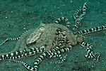 Mimic octopus (Thaumoctopus mimicus) mating