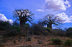 Africa, Tanzania. Two majestic Baobab trees loom over the African landscape in Tanzania.