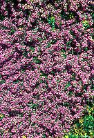 Erica carnea 'Vivellii' AGM lavender pink flowered heath shrub in bloom