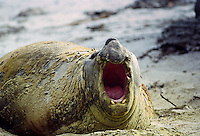 Elephant seal on the beach giving warning call, at Sea Lion Island in The Falkland Isles