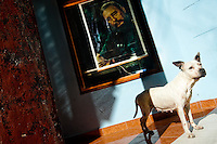 A white pit bull terrier stands in front of a portrait of the revolutionary leader Fidel Castro, hung on the wall in Havana, Cuba, 13 February 2009. During the Cuban Revolution, an armed rebellion at the end of the 1950s in Cuba, most of the revolutionary leaders started as no-name soldiers fighting in the jungle. Although the revolutionary leaders, after taking over the power, became autocratic rulers holding almost absolute power and putting the opposition in jail, for some reason Cuban people have never stopped to worship Fidel Castro, Che Guevara, Raul Castro and others. Cubans hang their photos and portraits on the wall in homes, shops and working places even they don't have to. The people of Cuba love their heroes.