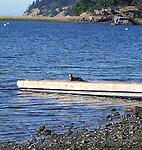 river otter retreats from beach to dock and contemplates moving further on Henry Island in the San Juan Islands