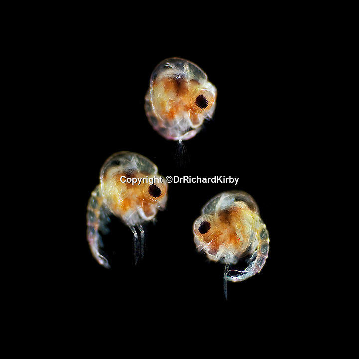 BNPS.co.uk (01202 558833)<br /> Pic: Dr Richard Kirby/BNPS<br /> <br /> ***Please Use Full Byline***<br /> <br /> One of Dr Kirby's pictures showing x150 magnification of the zoea larva of crabs., a type of plankton.<br /> <br /> It may not be destined to be a bestseller, but a new book on the microscopic inhabitants of the oceans has got to be one of the most interesting and unusual publications this year.<br /> <br /> A British marine scientist has just published his new book on the humble plankton that reveals the amazing diversity of the invisible creatures that are in fact more numerous than the stars in the night sky.<br /> <br /> Marine scientist Dr Richard Kirby has dedicated his career to studying and photographing plankton - alien-looking creatures that live in huge numbers on the surface of the sea.<br /> <br /> His new book, called 'Ocean Drifters: A Secret World Beneath the Waves', contains images of the almost-invisible creatures under the microscope.<br /> <br /> Plankton, which cannot swim against a current, are at the very beginning of the marine food chain and are eaten by fish which in turn are consumed by other sea creatures like seabirds, sharks, dolphins, turtles and seals.<br /> .