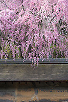 A cherry tree in full bloom hangs over the wall of the rock garden at the Ryoan-Ji Temple