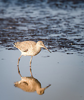 Willet standing in water with full reflection