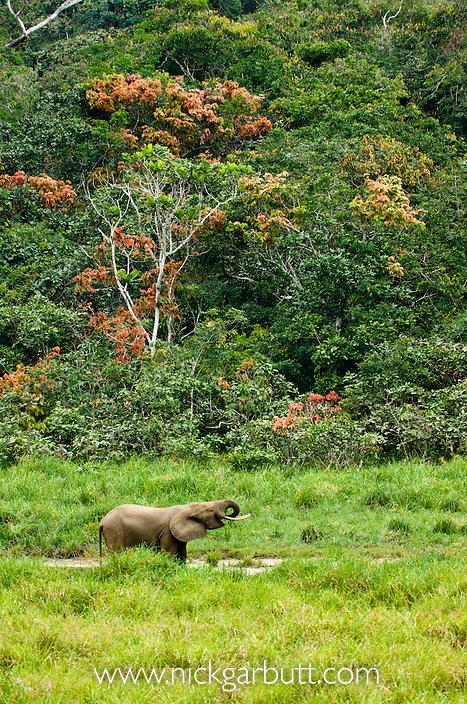 Bull Forest Elephant (Loxodonta africana cyclotis) drinking at Langoue Baie, Ivindo National Park, Gabon, Central Africa.
