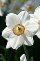 Narcissus 'High Society', mid April.