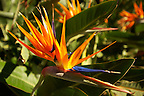 Bird of Paradise Flowers in the Trevelyan Gardens in Taormina Italy, also known as the Giardino Trevelyan
