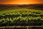 Vineyard in Carneros district of Napa Valley