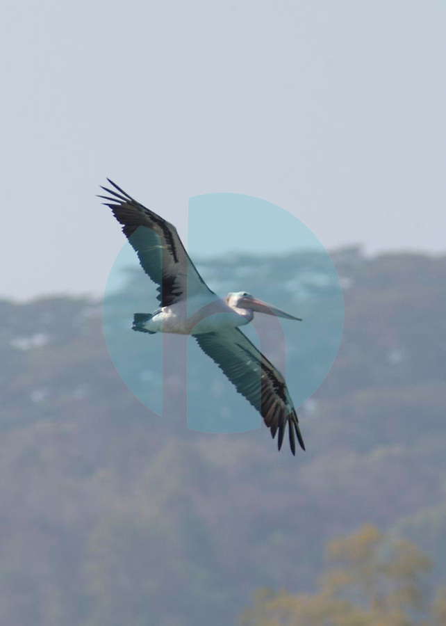 October 25th-Lake Maubara,East Timor-An Australian Pelican sails over Lake Maubara near Maubara town West of the Timorese capital of Dili.  These birds are regular visitors from Australia and largest bird found in East Timor.  Photo by Daniel J. Groshong/Tayo Photo Group