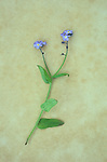 Stem of Forget-me-not or Myosotis alpestris with two heads of tiny blue flowers lying on antique paper