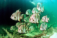 Atlantic spadefish, .Chaetodipterus faber, .Sands Cut, Biscayne National Park, .Florida (Atlantic).