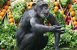 Foto: VidiPhoto<br /> <br /> ARNHEM - De oudste chimpansee van Nederland, Mama in Burgers' Zoo in Arnhem, is dinsdag op 59-jarige leeftijd overleden. In heel Europa zijn slechts twee chimpansees nog ouder. Mama is naar schatting in 1957 in het wild geboren, waarna ze jarenlang leefde in de Duitse dierentuin van Leipzig. In 1971 kwam Mama samen met de chimpanseevrouwen Gorilla en Franje naar Arnhem, waar zij de start vormden van een nieuwe chimpanseekolonie die wereldberoemd zou worden. Voor het eerst in de dierentuingeschiedenis werden verscheidene volwassen chimpansees samen gehouden in &eacute;&eacute;n verblijf. Deskundigen en dierentuindirecteuren voorspelden een grote ramp, maar de scepsis sloeg snel om in bewondering. Onder leiding van gedragswetenschapper en professor emeritus Jan van Hooff is jarenlang onderzoek aan de chimpanseekolonie verricht. Vooral dankzij het baanbrekende gedragsonderzoek van Frans de Waal, tegenwoordig een internationaal bekende primatoloog, werd Mama vanwege haar dominante en invloedrijke rol in de chimpanseegroep beroemd. Een leeftijd van 59 jaar is in chimpanseebegrippen hoogbejaard. Ondanks haar naam was ze een slechte moeder. In sommige gevallen moesten haar jongen zelfs met extra hulp van verzorgers worden grootgebracht. Op latere leeftijd werd ze door haar groepsgenoten gewaardeerd vanwege haar verzoenende vaardigheden en haar bemiddelende rol bij conflicten.
