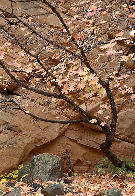 A bigtooth maple (Acer grandidentatum) shows pastel autumn colors against the sandstone cliff walls of Pumphouse Wash