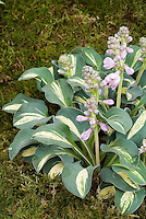 Hosta Snow Mouse in flower with yellow center, small dwarf perennial foliage plant for shade