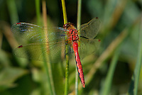 362710003 a wild male cherry-faced meadowhawk sympetrum internum  perches on a grass stem near along the owens river benton crossing road mono county california