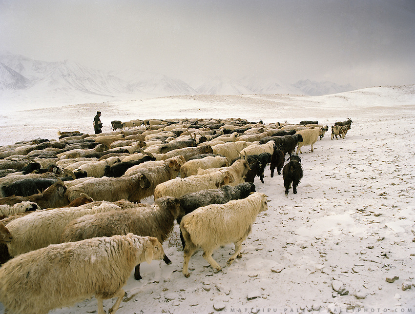 "Sheep herd leaving in the morning. Wolf attack on livestock is common..Campment of the ""second"" Sary Tash. Ustad's Ghulam's camp..Winter expedition through the Wakhan Corridor and into the Afghan Pamir mountains, to document the life of the Afghan Kyrgyz tribe. January/February 2008. Afghanistan attack on livestock is common..Campment of the ""second"" Sary Tash. Ustad's Ghulam's camp..Winter expedition through the Wakhan Corridor and into the Afghan Pamir mountains, to document the life of the Afghan Kyrgyz tribe. January/February 2008. Afghanistan"