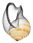 Blended x-ray image of a banded tun shell (Tonna sulcosa, on white) by Jim Wehtje, specialist in x-ray art and design images.