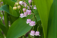 Pink Lily of the Valley in flower, Convallaria majalis