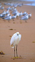 "A Snowy Egret (Egretta thula) or ""Golden Slippers"" stands on the beach near a flock of terns in Ormond Beach, Florida, November 8, 2011.   (Photo by Brian Cleary/www.bcpix.com)"