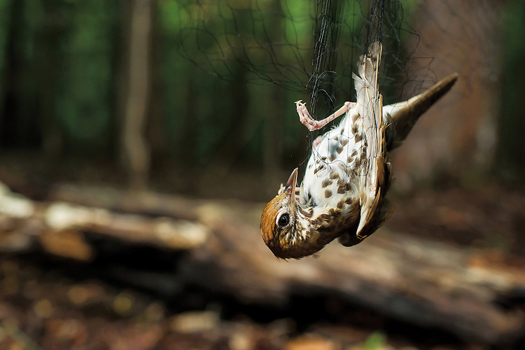 A Wood Thrush caught in a mist net, which do not harm the birds. The Smithsonian Migratory Bird Center and Forsyth Audubon collaborated on the The NC Wood Thrush Recapture program to catch, band and release Wood Thrushes and search for birds tagged with a GPS tracker at Pilot Mountain in Pinnacle, N.C. on Sunday, June 7, 2015. (Justin Cook/ The National Audubon Society)