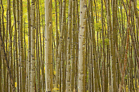 Fall foliage and a dense stand of rain streaked aspen trunks form an interesting composition of line and color.