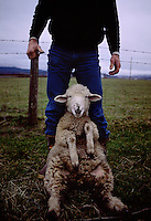 Spring is the time sheep are sheared for their wool on ranches and farms in northern California.