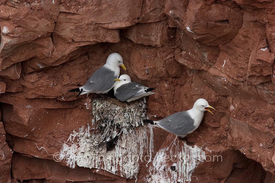 Dreizehenmöwe, am Vogelfelsen von Helgoland, Brutfelsen, Nest, brütend, Dreizehen-Möwe, Möwe, Dreizehenmöve, Rissa tridactyla, kittiwake