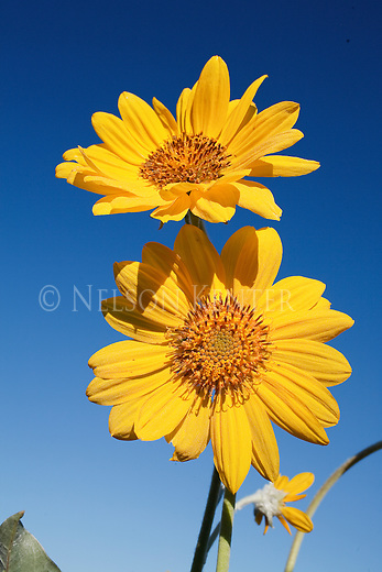 Bright yellow color of the Arrow Leaf Balsamroot flower against a deep blue sky in Montana