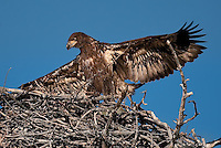 Juvenile Bald Eagle in nest with wings spread, unfledged