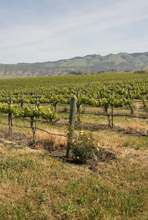 California, San Luis Obispo County: Grape fields at Edna Valley Vineyard, chardonnay..Photo caluis111-70737..Photo copyright Lee Foster, www.fostertravel.com, 510-549-2202, lee@fostertravel.com