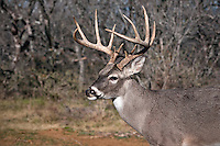 13 point White-tailed Buck