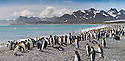 King Penguins (Aptenodytes patagonicus) on the beach at Salisbury Plain, South Georgia, South Atlantic. (digitally stitched image)