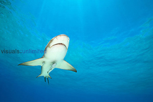 Lemon Shark (Negaprion brevirostris) with Sharksuckers or Remoras (Echeneis naucrates), Bahamas, Atlantic Ocean.