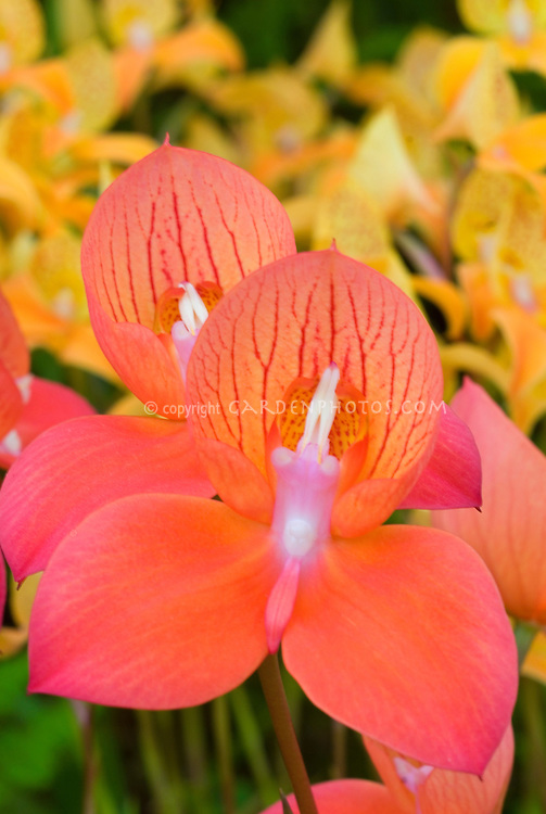 Orchid Disa Riette against the yellow of Disa Kewensis, orchid hybrid terrestrials, stock photo