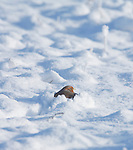 Hungarian Partridge in snow on a cold winter day