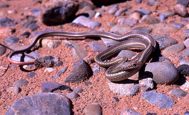 Western Ribbon Snake, Utah
