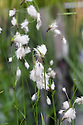 """Eriophorum latifolium (Broad-leaved cotton grass), mid May. The """"cotton"""" is shorter than that of Common cotton grass."""