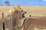 Lion Roaring At Lioness
