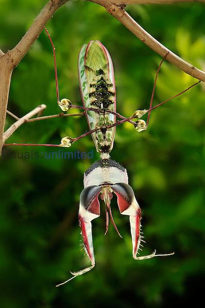 Giant Devil's Flower Mantis (Idolomantis diabolica), Tanzania