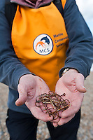 Volunteer collecting discarded fishing hooks during a beach clean-up organised by the Marince Conservation Society, Aldeburgh, Suffolk, UK, 2010.