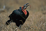 A southern ground hornbill (Bucorvus cafer) that caught a scorpion.